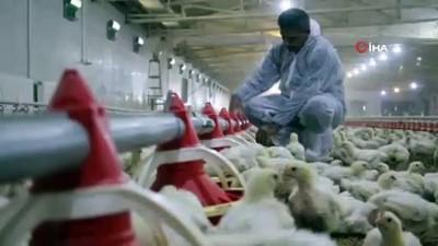 tavuk ciftligi -  Devlet desteği ile çiftlik kurdu, yılda 300 bin TL kazanmaya başladı