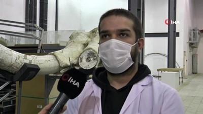 Dünyada tek örnek olan 7,5 milyon yıllık fosil Türkiye'nin ilk Paleantoloji Müzesi'nde sergilenmek için hazırlanıyor