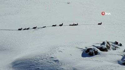 Karlı dağları aşarak göç yoluna koyulan dağ keçileri böyle görüntülendi