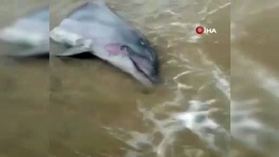 Gövdesi kesilmiş yunus başı sahile vurdu