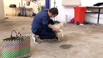 kisla -  Doğumunu yaptırdığı kuzuyu pazar çantası ile hastaneye getirdi