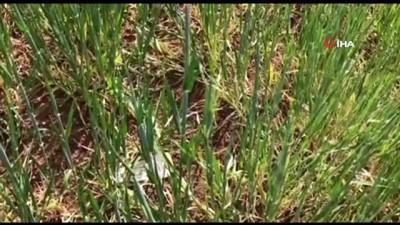 yagan -  Mardin'de yağışlar 3 kat azaldı, kuraklık tarım kadar içme suyunu da olumsuz etkiliyor
