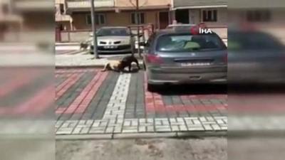 Pitbull, sokak köpeğine saldırdı, görenler ayırmak için uzun süre mücadele etti