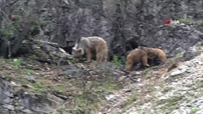 Doğa sessiz kaldı, ayılar ve yaban keçileri vadilere indi