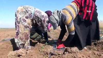 Suriye sınırında biber fideleri toprakla buluşmaya başladı