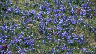 Mor Yayla'nın Mavi Yıldız çiçekleri açtı