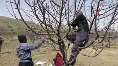 Mevsimlik işçilerin ağaç budama mesaisi