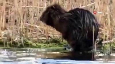 Su maymununun kendini temizlediği sevimli anlar kamerada