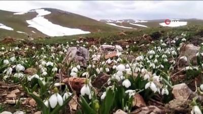 Baharın ve yazın habercisi beyaz kardelenler çiçek açtı