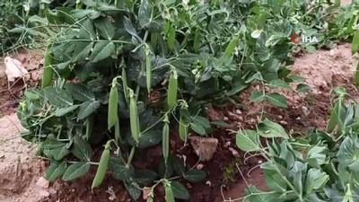 Üreticiler bezelye hasadı için gün sayıyor