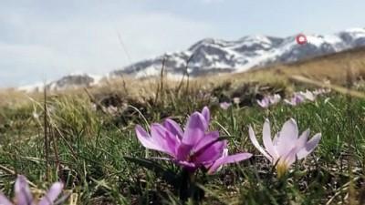 Kardelenlerin karlı dağlarla buluşması görsel şölen sunuyor