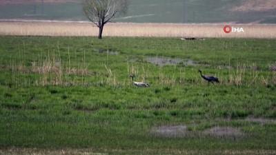 Yüksekova'nın baharla gelen misafirler 'Bayağı Turna' kuşları