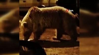 Aç kalan ayılar şehir merkezine indi, konteyner karıştırdı