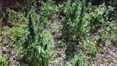 uyusturucu -  Antalya'da uyuşturucu operasyonu: Ev ve serasında uyuşturucu yetiştiren şahıs kıskıvrak yakalandı