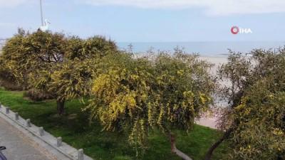 Baharın gelişiyle açan mimozalar renkli görüntüler oluşturdu