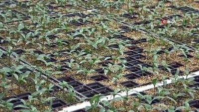 Türkiye'nin sebze fideleri Bafra Ovası'ndan