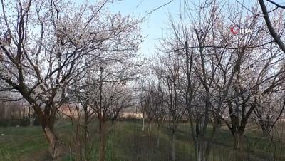 Kayısı ağaçları beyaz gelinliği ile göz kamaştırıyor