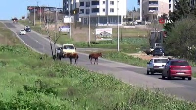 Sürücülerin atlarla imtihanı...Yola çıkan bir grup at trafiği birbirine kattı