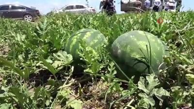Tescilli Adana karpuzunda hasat coşkusu