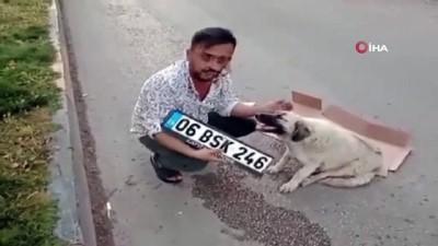 arac plakasi -  Hamile köpeğe çarpıp kaçtı