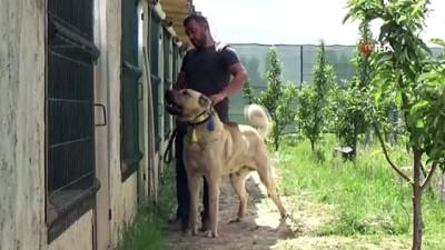 yavru kopekler -  Sivas'ın ünlü Kangal köpeğini Karaman'da yetiştiriyor