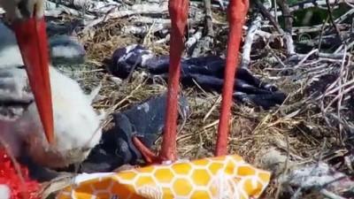 BURSA - Ayaklarına çuval ipi dolanan leylek 'Yaren'in yavrularına belediye ekipleri müdahale etti