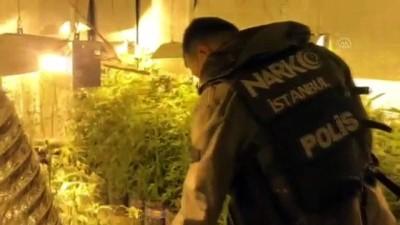 zabita memuru - İSTANBUL - Beykoz'daki uyuşturucu operasyonunda 300 kök Hint keneviri ele geçirildi
