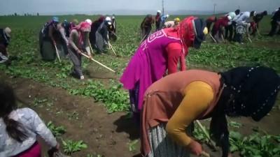 MUŞ - Tarım işçilerinin Muş Ovası'ndaki mesaisi başladı