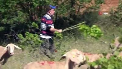 ogretim uyesi -  Akademik çoban: Derslerden arta kalan zamanlarda koyunlarını merada kendi otlatıyor