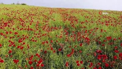 kano -  Tekirdağ'da tarlalar kırmızıya boyandı Videosu