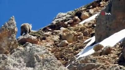 kayali -  Anne ayı küçük yavrusunu korumak için kayalıklara çıktı... O anlar böyle görüntülendi