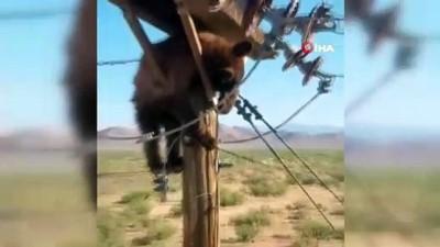 - ABD'de elektrik direğinin tepesinde mahsur kalan ayı kurtarıldı