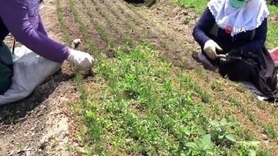 Köylü kadınlar yabani otları elleriyle tek tek temizliyorlar