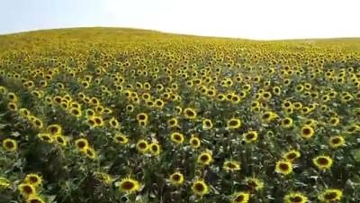 ADANA - Çukurova'da sarıya boyanan ayçiçeği tarlaları doğal fotoğraf stüdyosu haline geldi (2)