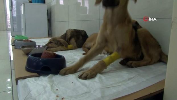 yavru kopekler -  Avcılar'da zehirlenen yavru köpekler belediye ekiplerince kurtarıldı
