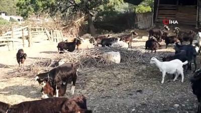 isvec -  Foça'da kara keçisinin nesli tükenme tehlikesi altında