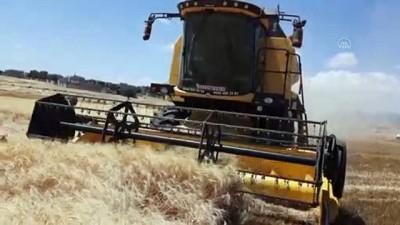 erimli - GAZİANTEP - Makarnalık sert buğdayın hasadına başlandı