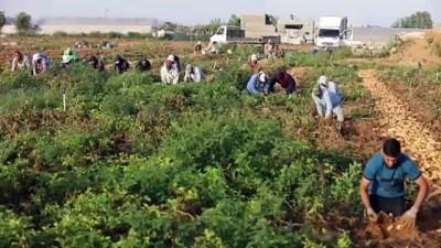 kirikli - GAZZE - Gazzeli çiftçiler İsrail saldırılarının ardından buruk bir hasat dönemi geçiriyor (2)
