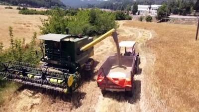 yerli tohum - MERSİN - Hasadı yapılan yerli Kunduru buğdayı un yapılarak vatandaşlara dağıtılacak