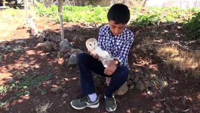 ŞANLIURFA - Yaralı bulunan peçeli baykuş korumaya alındı