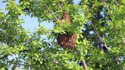 SİVAS - Vali Ayhan, oğul veren arı kolonisini sepet kovana aktardı