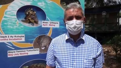 MUĞLA - İztuzu Plajı'ndaki caretta caretta yuva sayısı 300'e ulaştı