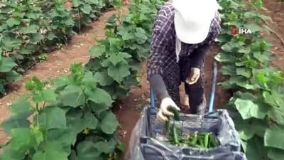 Yeni trend yayla seracılığında ilk salatalık hasadı yapıldı