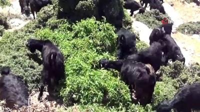 kayali -  Kıl keçisi yetiştiricilerinin yol sevinci
