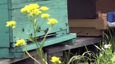 bal uretimi - RİZE - Zengin bitki örtüsüne sahip Anzer Yaylası'nda arıcıların bal mesaisi başladı
