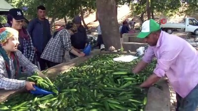Kahramanmaraş'ta salatalıkta hasat bereketi