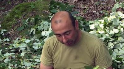 uzunlu - BURSA - Ihlamur ormanlarında 'mis kokulu' hasat başladı