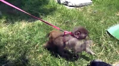 yazili aciklama - KAYSERİ - Ordu'da inşaatta bulunan örümcek maymunu Kayseri Hayvanat Bahçesine getirildi