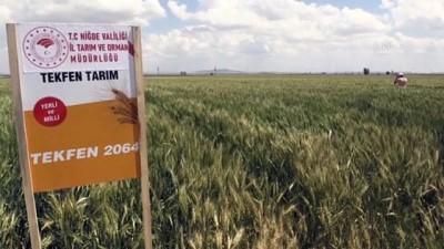 yerli tohum - NİĞDE - Yerli buğday deneme ekimlerinden yüksek verim alındı