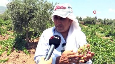 tarim -  Gaziantepli çiftçiler üzüm hasadı için gün sayıyor